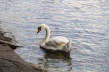 Lucerna-swan