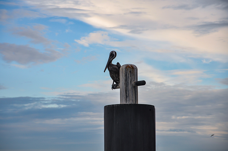 Pelican at Galveston Island's wharf, Texas