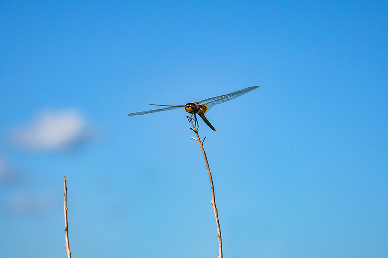 Dragonfly, Texas