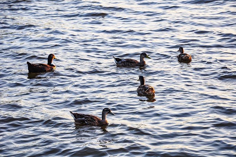 Ducks, Lake Charles, Louisiana