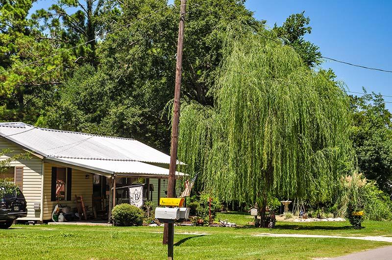 Weeping willow, Vinton, Louisiana
