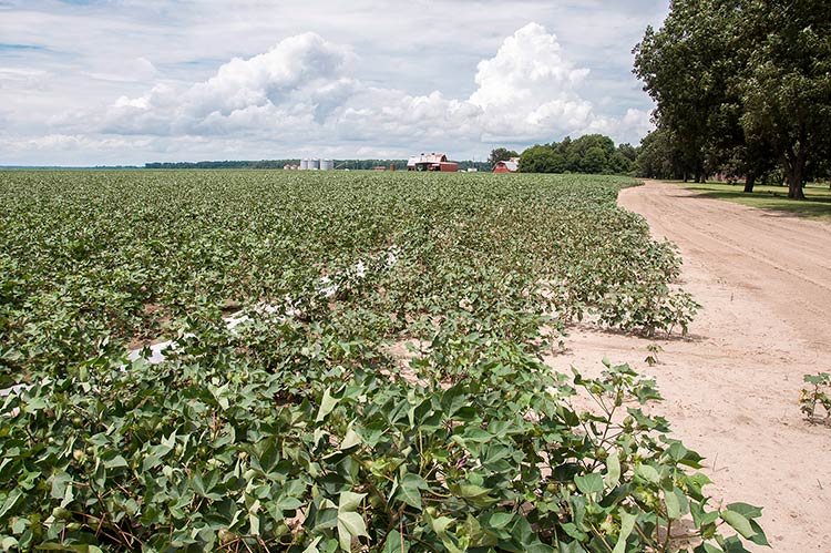 Cotton field, Stovall Plantation, Coahoma County, Mississippi