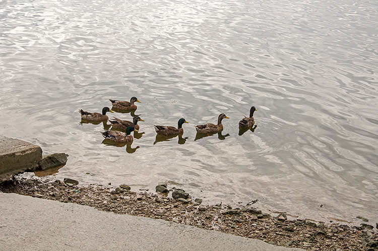 Ducks at the Levee, Greenville, Mississippi