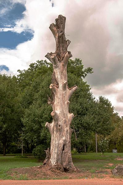 Cary, tree