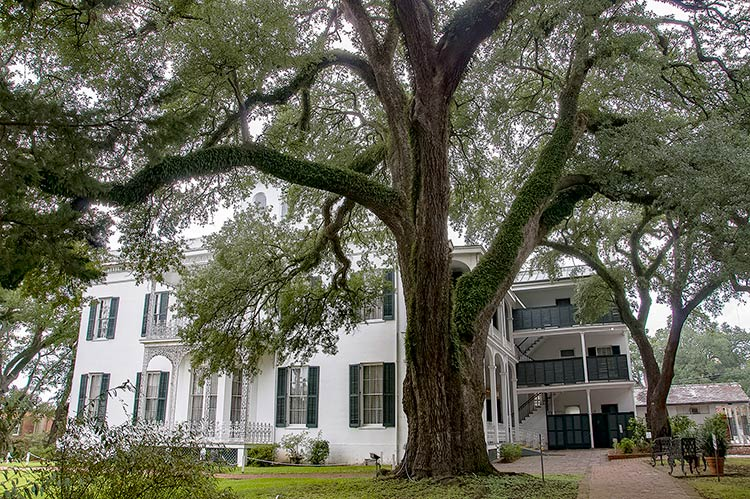Old big tree in the back of Stanton House, On-Top-of-the-Hill Historic District, Natchez, Mississippi