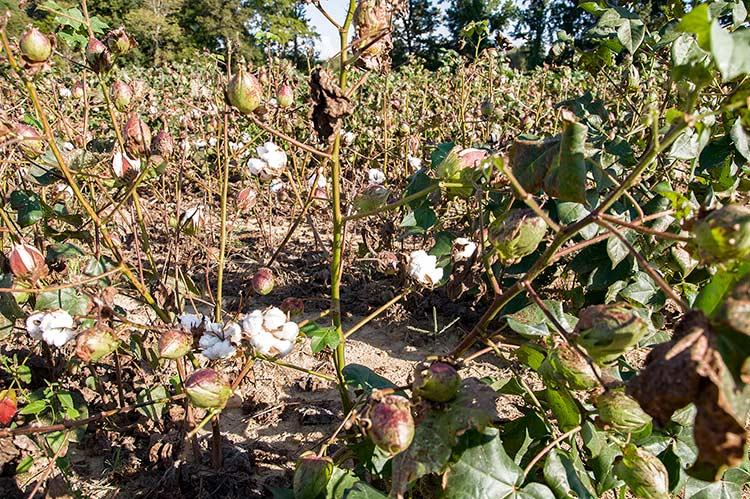 Cotton in Senatobia, Ms